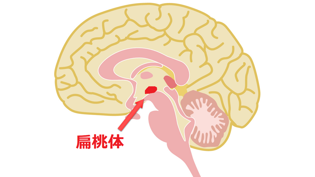 扁桃体の図
